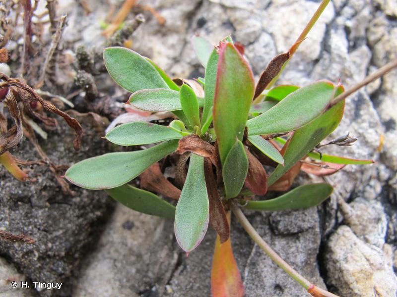 Limonium binervosum