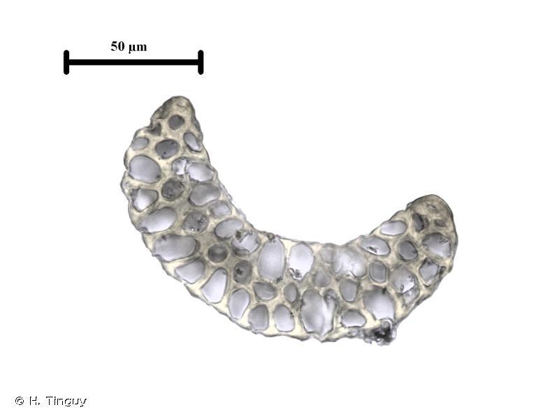 Paraleucobryum enerve