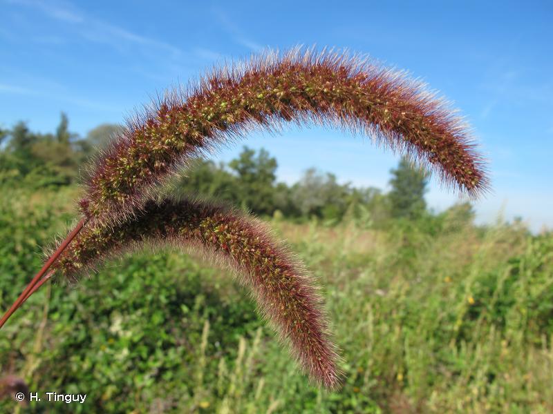 Setaria italica subsp. pycnocoma