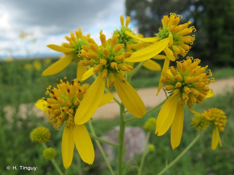 Verbesina alternifolia