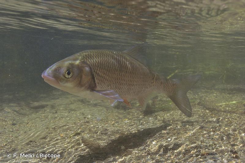 Leuciscus burdigalensis