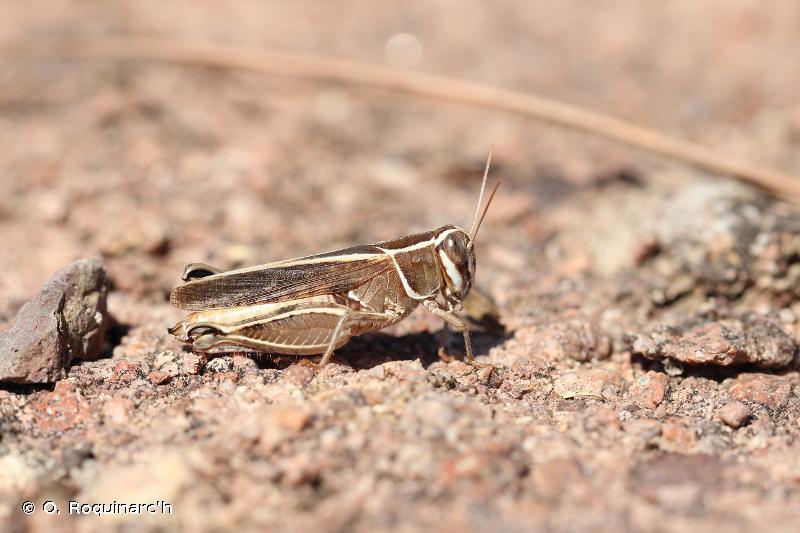 Calliptamus wattenwylianus