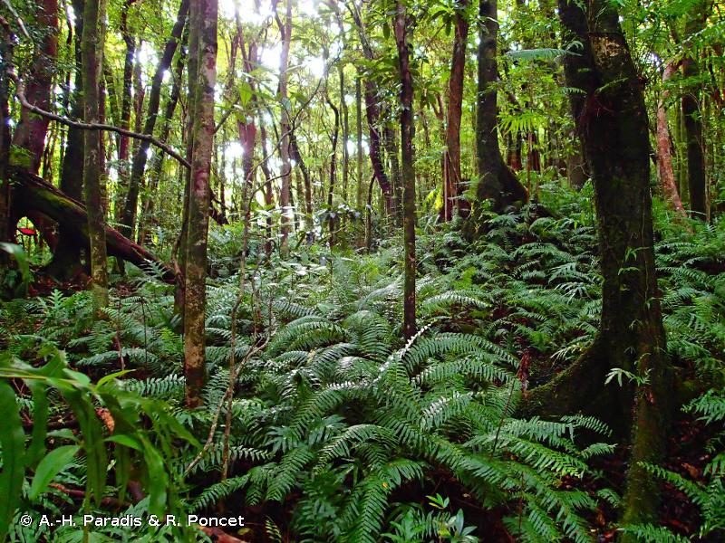 R49.1111 - Forêt à Sideroxylon borbonicum et Agarista salicifolia (Réunion) - Habitats CORINE biotopes de La Réunion (2000, rév. 2010)