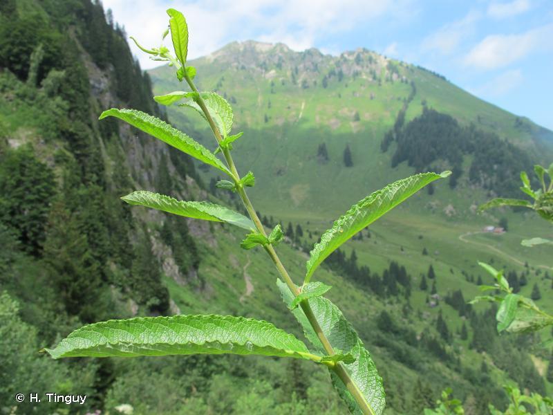 Salix appendiculata