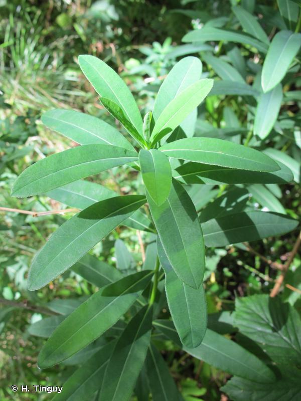 Euphorbia illirica