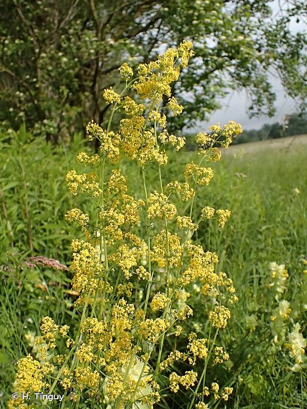 Galium verum subsp. wirtgenii