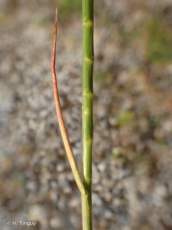 Hainardia cylindrica