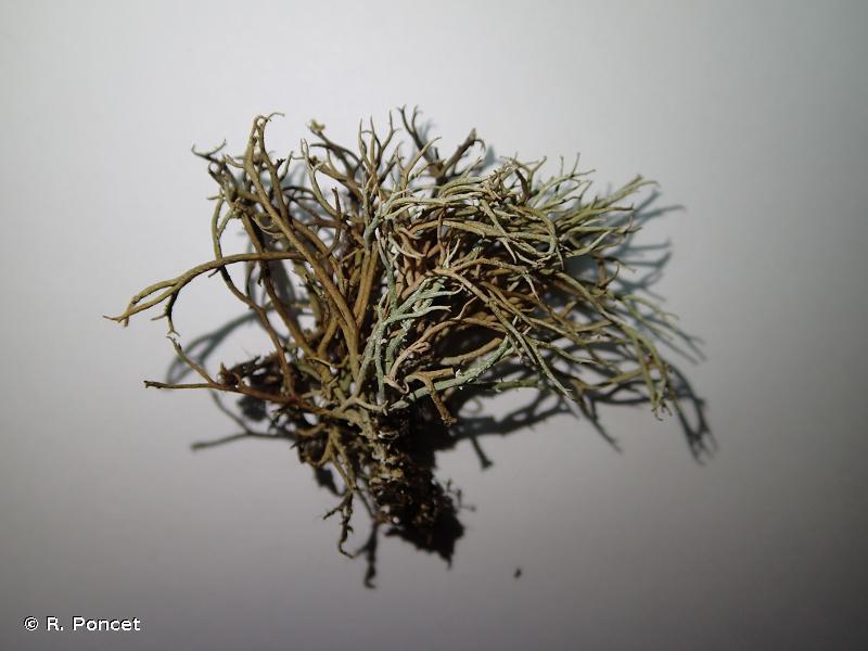 Cladonia furcata