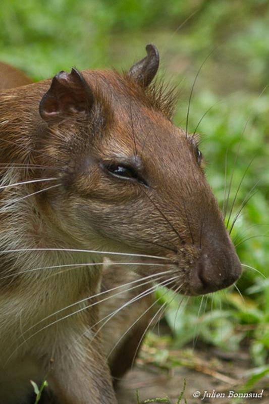 Cuniculus paca
