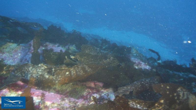 IV.3.1.c. - Association à <em>Laminaria rodriguezii</em> sur roche - Biocénoses benthiques de Méditerranée
