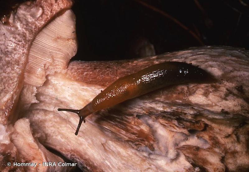 Malacolimax tenellus