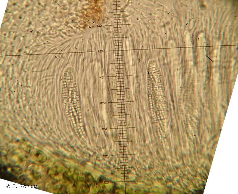 Pachyphiale fagicola