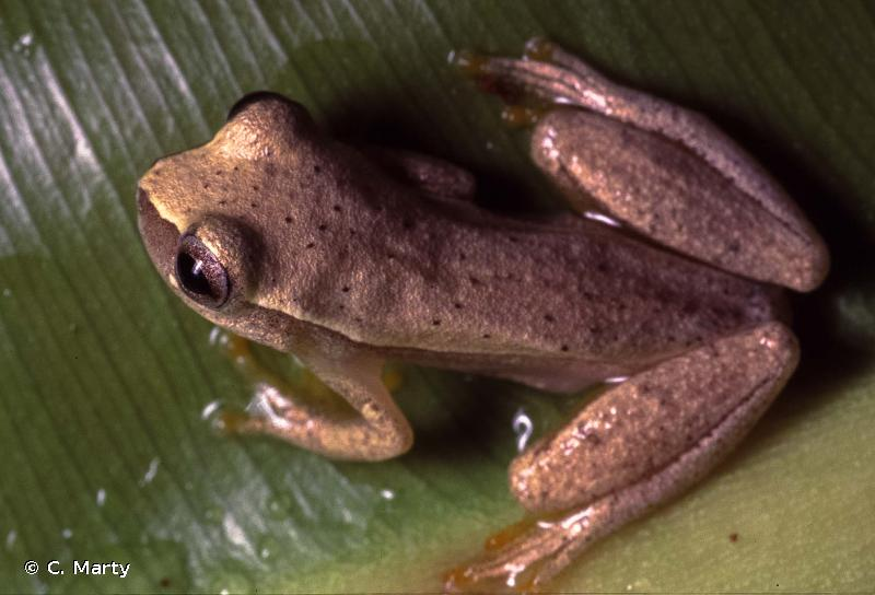 Dendropsophus minusculus