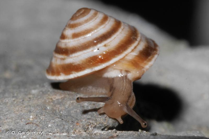 Trochoidea elegans