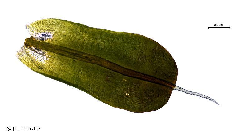 Syntrichia montana