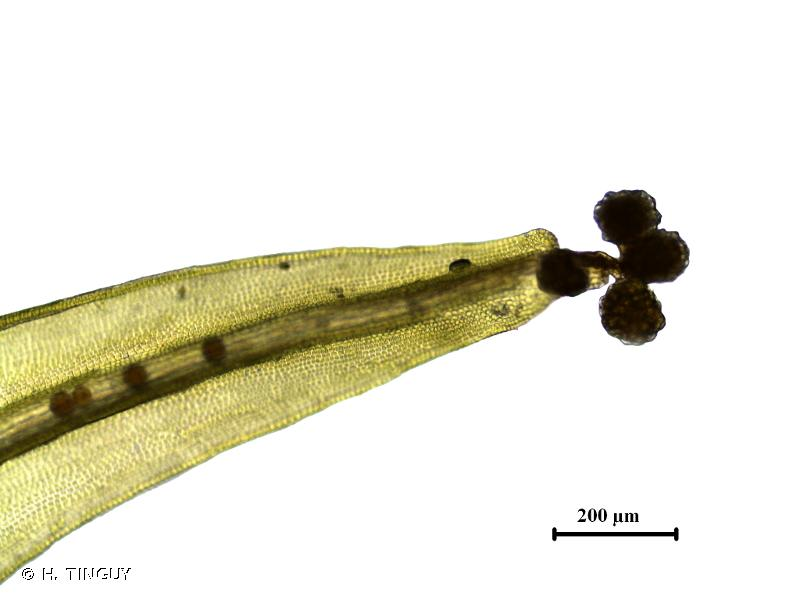 Grimmia hartmanii