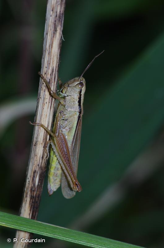 Mecostethus parapleurus