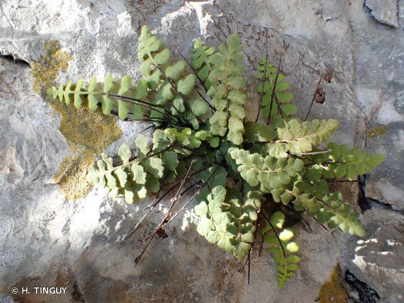 Asplenium petrarchae