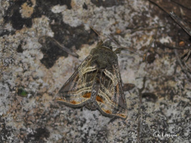 Euchalcia modestoides