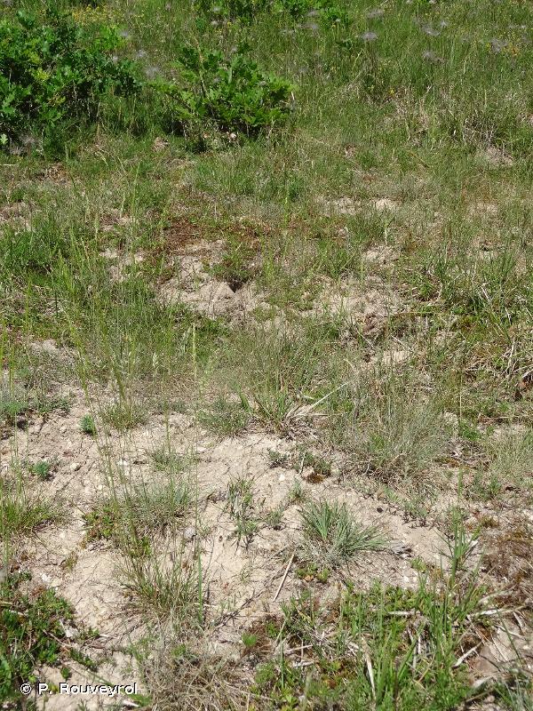 6120-1 - Pelouses pionnières à post-pionnières sur sables silico-calcaires plus ou moins stabilisés - Cahiers d'habitats