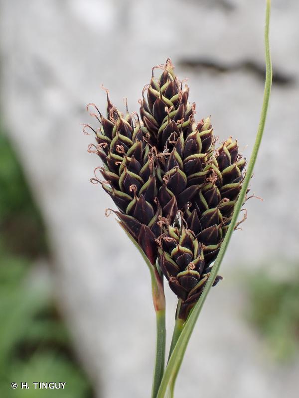 Carex parviflora