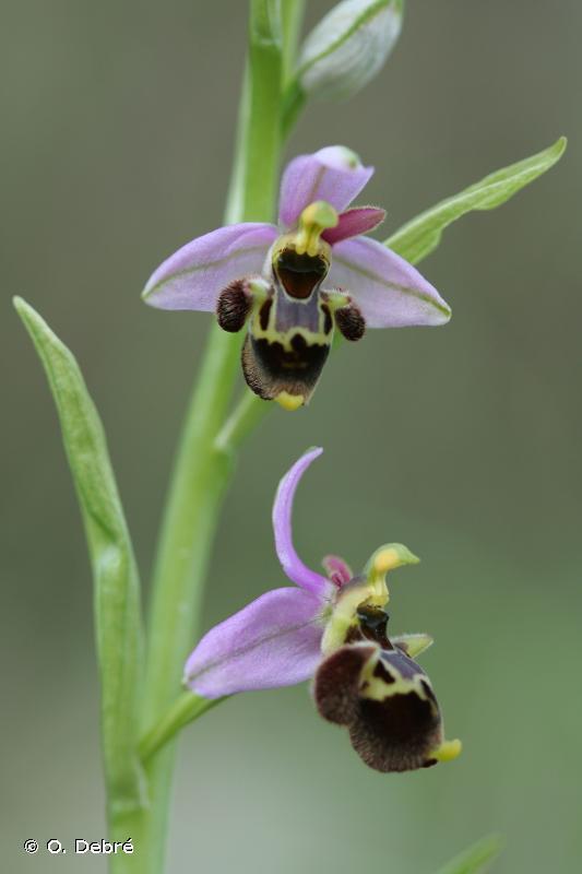 Ophrys conradiae