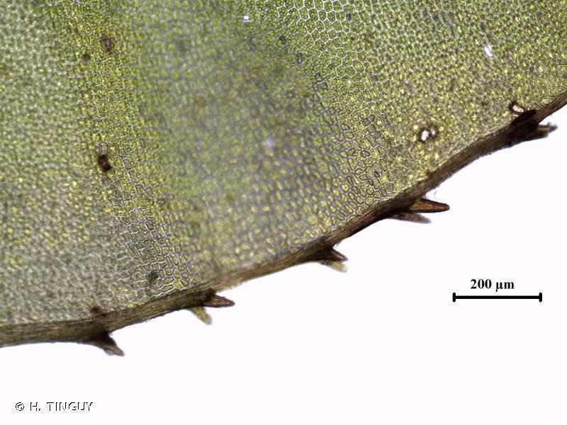 Mnium spinosum