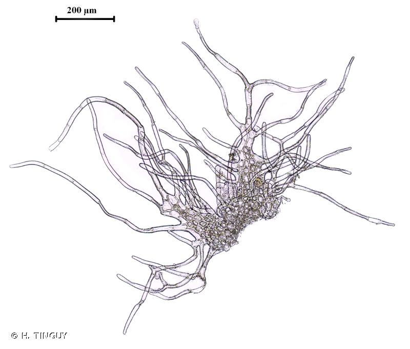 Barbilophozia lycopodioides