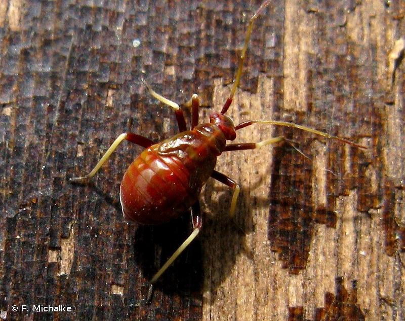 Grypocoris sexguttatus