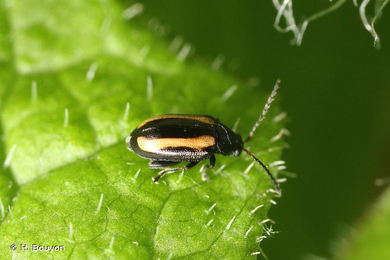 Phyllotreta undulata