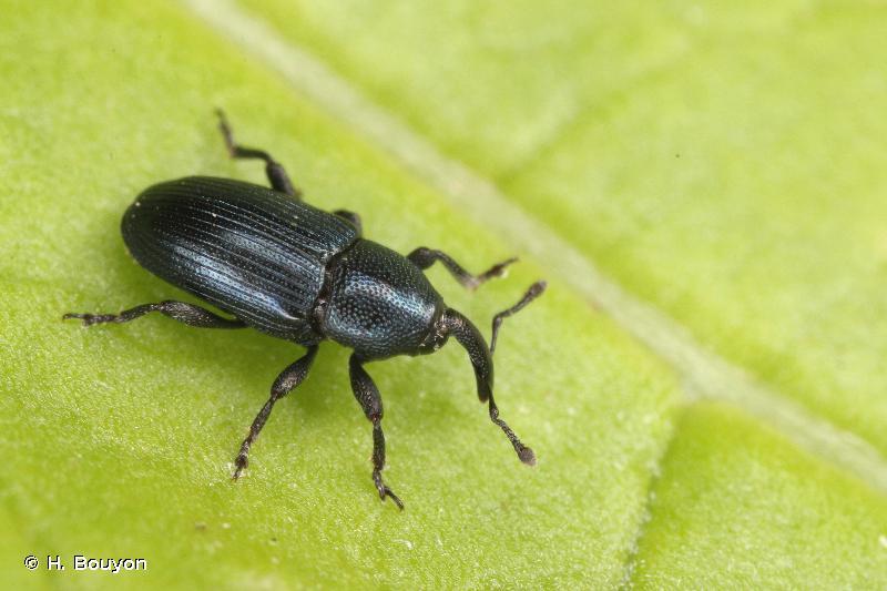 Aulacobaris picicornis