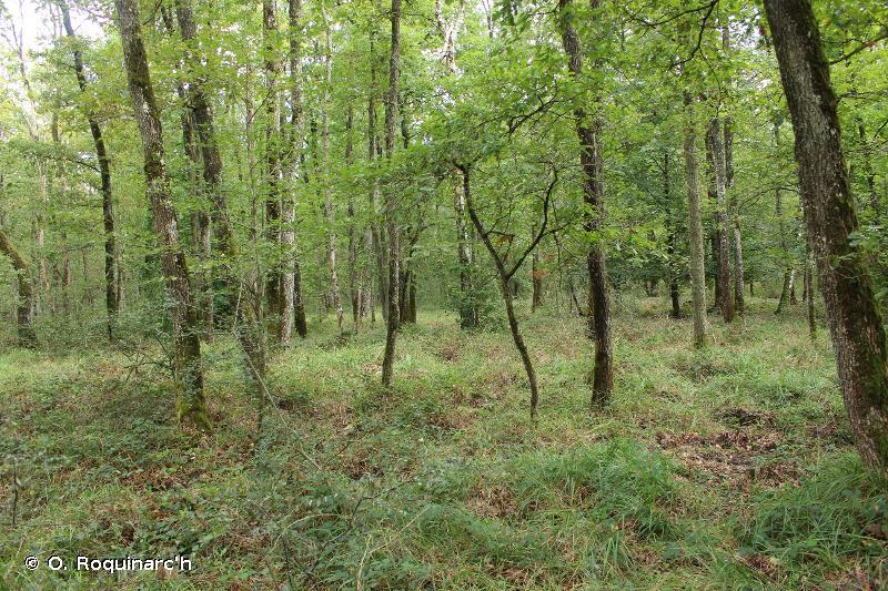 G1.8 - Boisements acidophiles dominés par <em>Quercus</em> - EUNIS