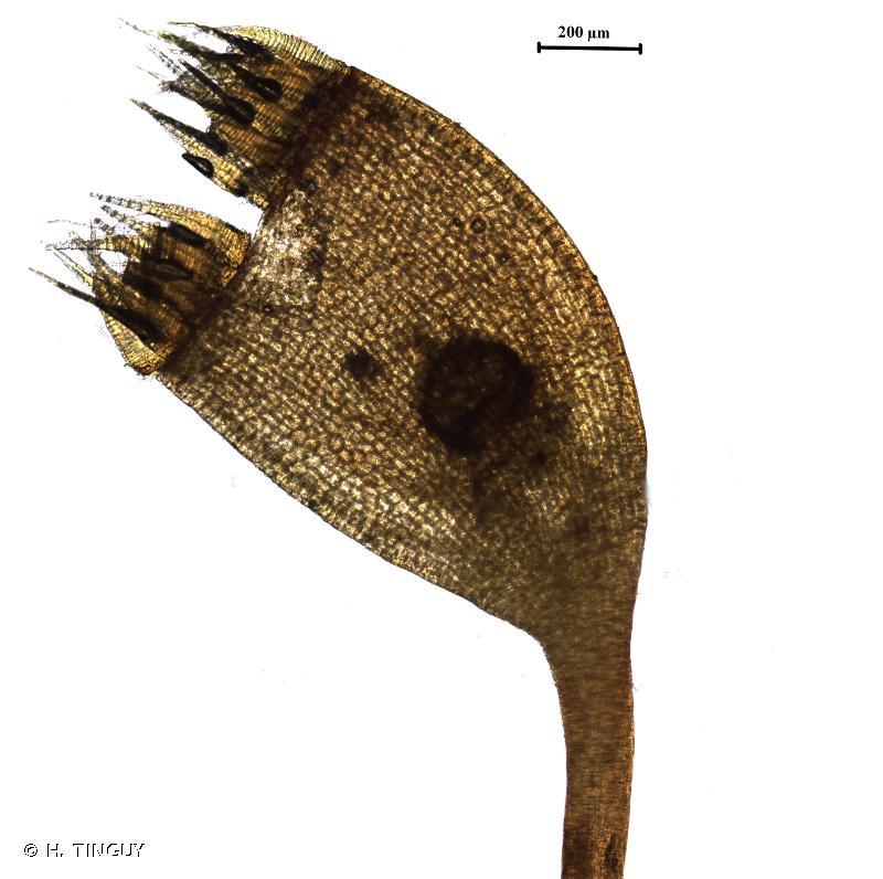 Arvernella microclada