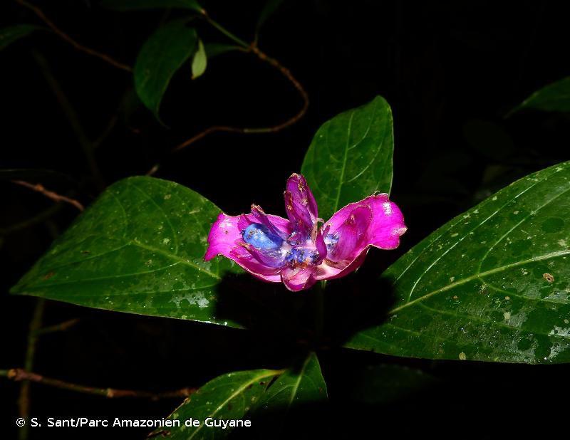 Palicourea urceolata