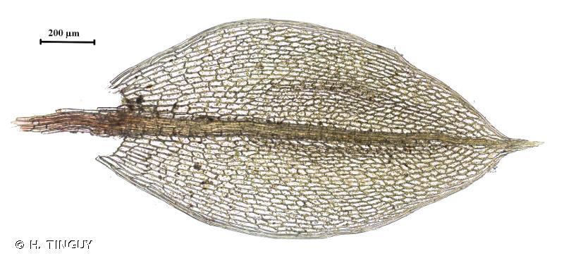 Ptychostomum pallens