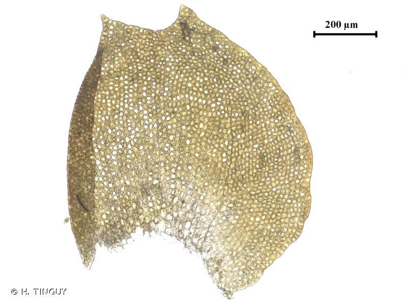 Anastrepta orcadensis