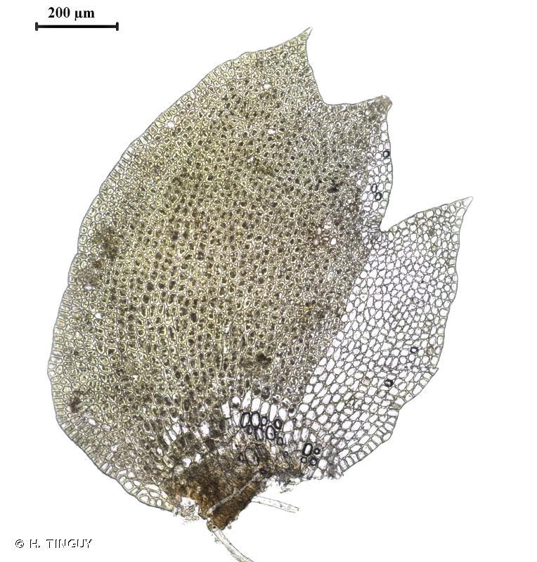 Tritomaria exsectiformis