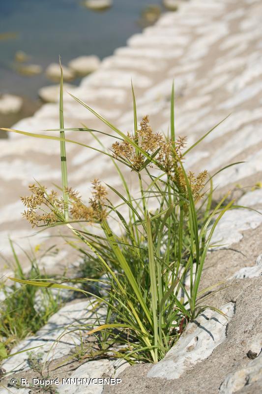 Cyperus esculentus var. leptostachyus