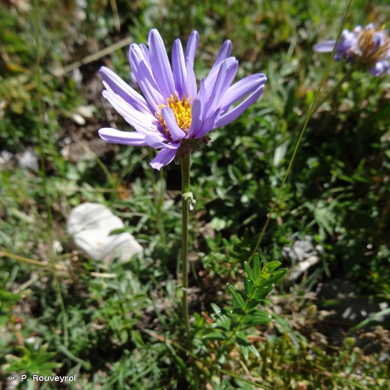 Aster alpinus subsp. alpinus