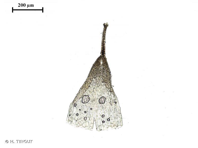Weissia longifolia