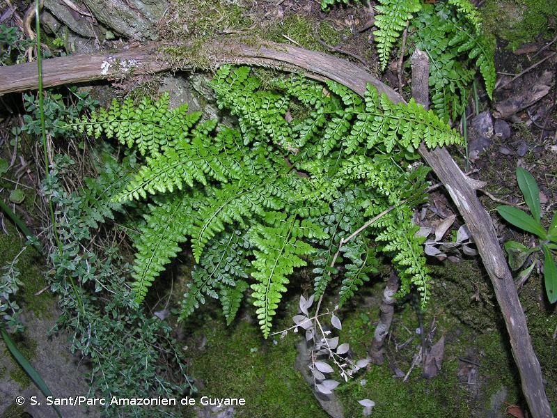 Asplenium obovatum subsp. obovatum