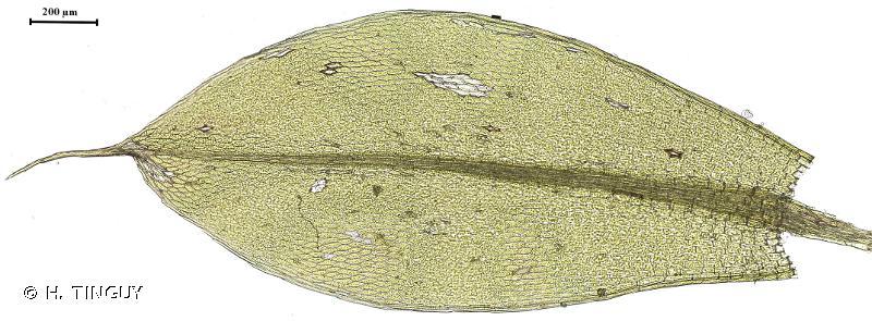 Ptychostomum torquescens