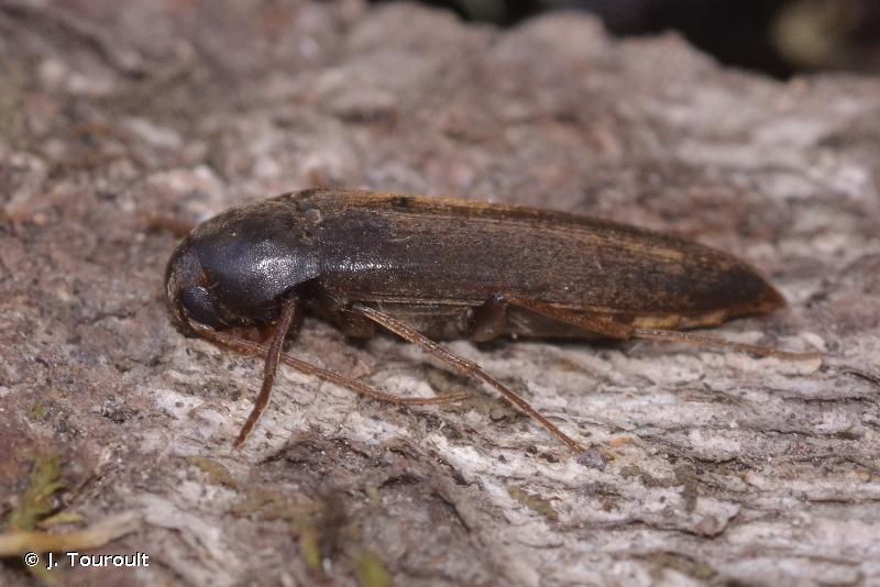 Serropalpus barbatus