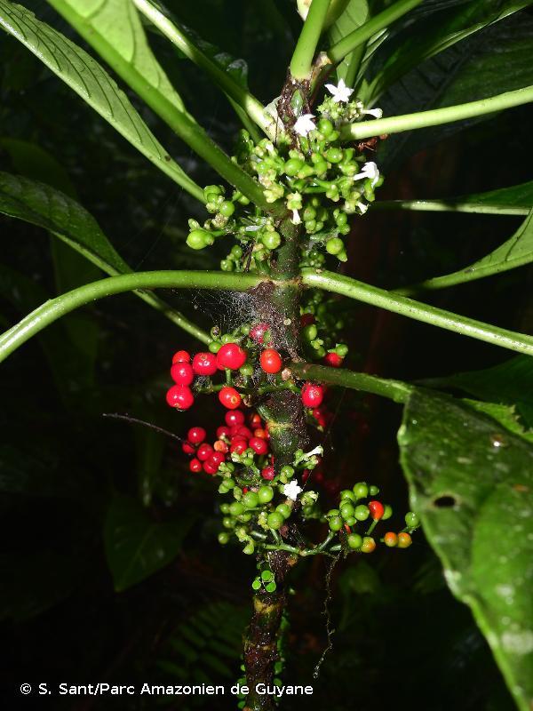 Notopleura saulensis