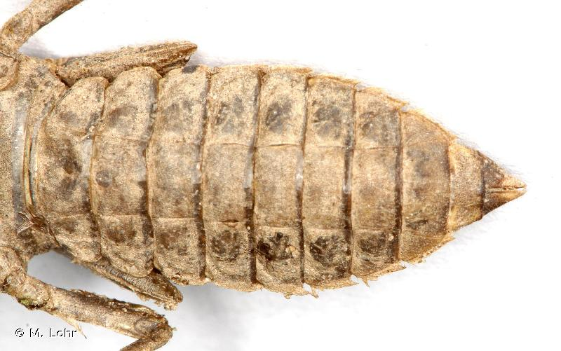 Onychogomphus forcipatus
