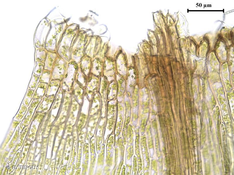 Warnstorfia fluitans