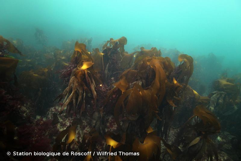 B1-3.1 - Forêt de laminaires dominée par <em>Laminaria hyperborea</em> - Habitats marins benthiques d'Atlantique
