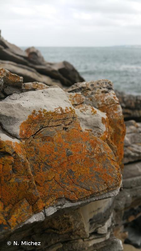 Caloplaca marina