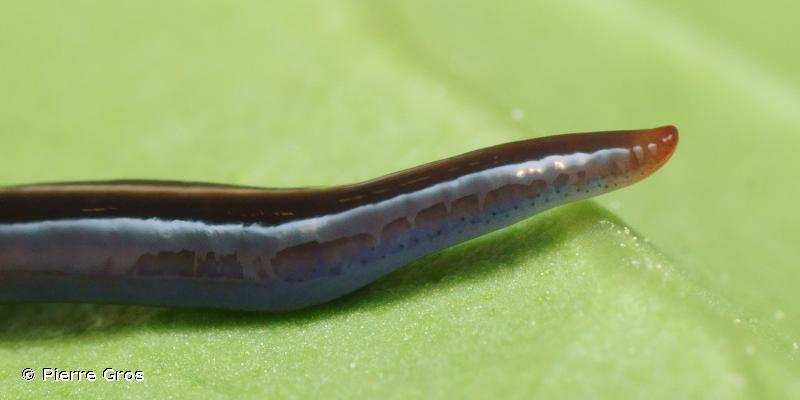 Caenoplana coerulea