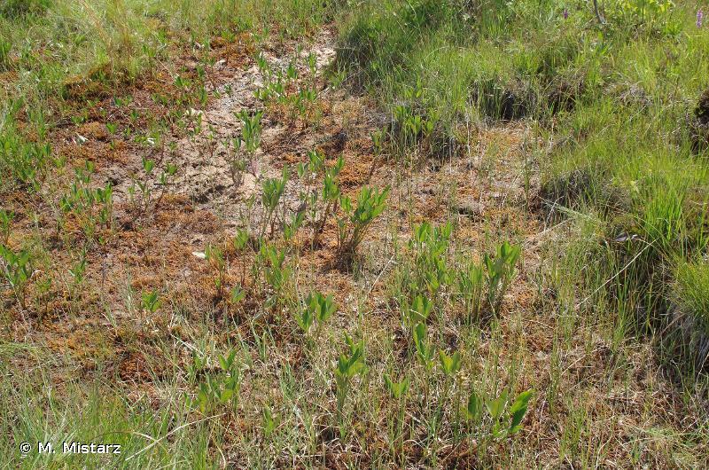 7150 - Dépressions sur substrats tourbeux du <em>Rhynchosporion</em> - Habitats d'intérêt communautaire